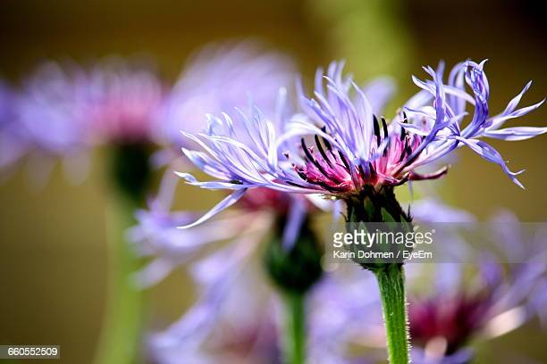 Close-Up Of Thistle Flowers On Sunny Day