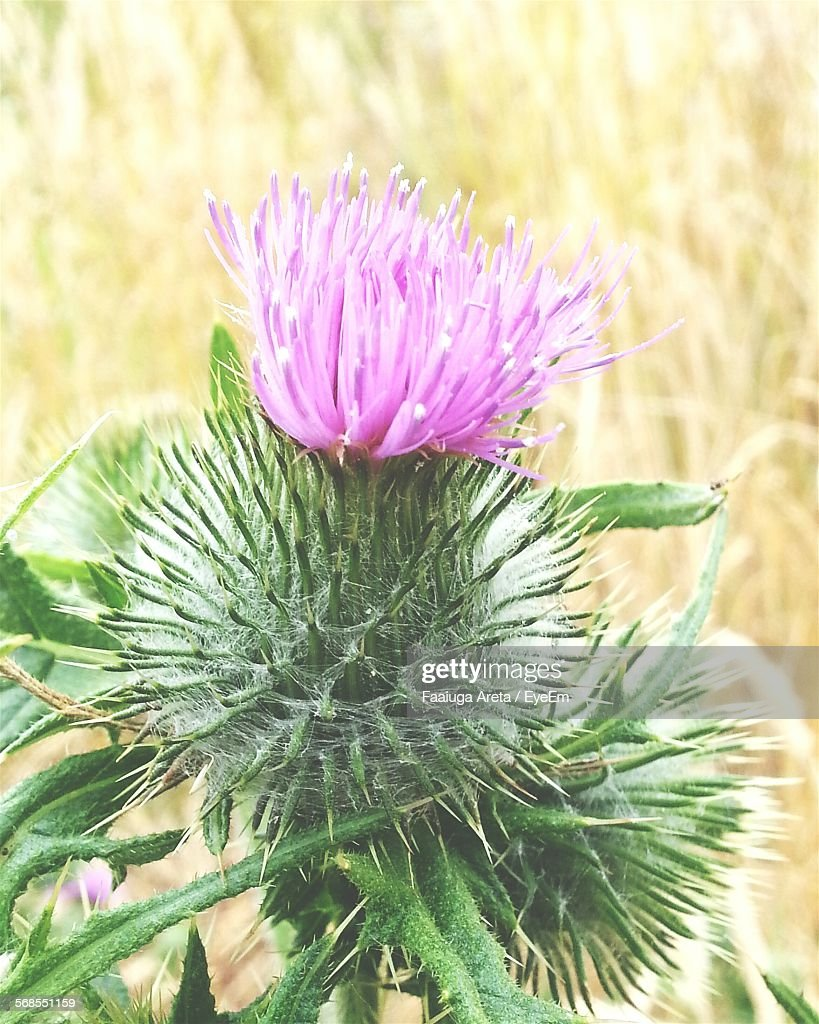Close-Up Of Thistle Growing On Grassy Field : Stock Photo