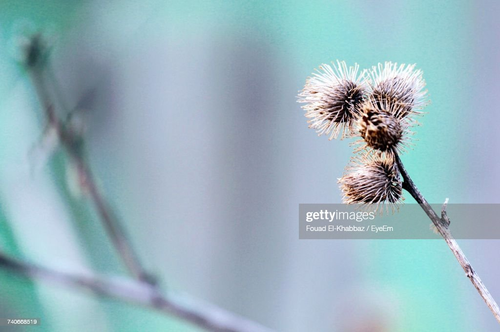 Close-Up Of Thistle : Stock-Foto