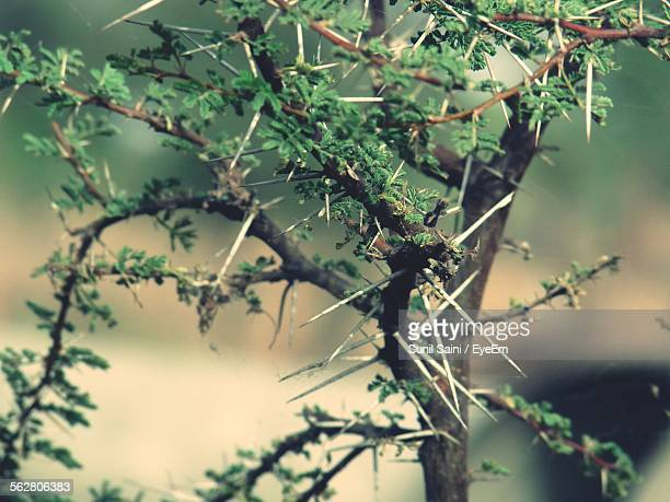 close-up of thorn bush - thorn stock pictures, royalty-free photos & images