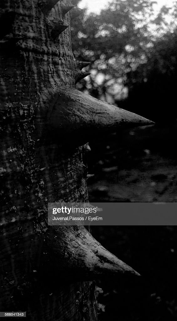 Close-Up Of Thorns On Tree Trunk : Stock Photo