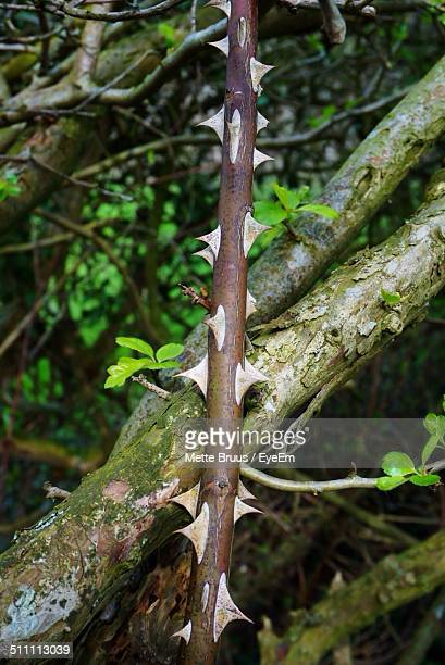 close-up of thorny stem - tree with thorns on trunk stock photos and pictures