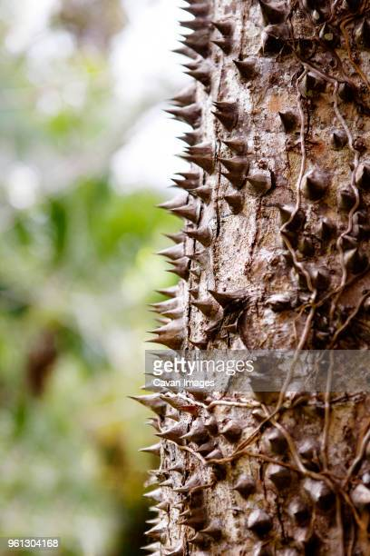 close-up of thorny tree trunk - tree with thorns on trunk stock photos and pictures