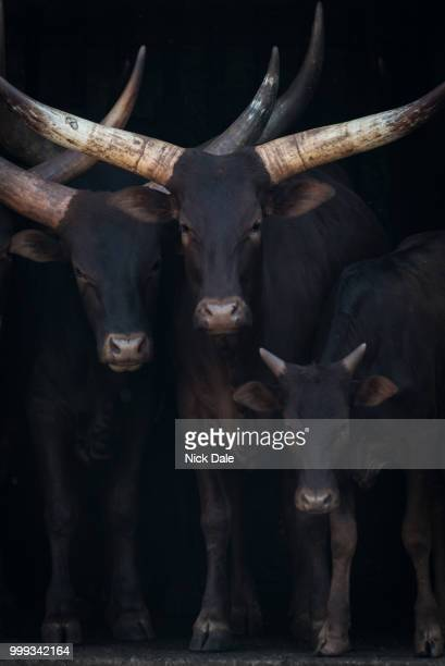 Close-up of three Ankole-Watusi cattle in shed