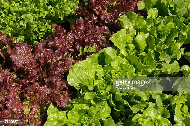 Close-up of Three Organic Lettuce Plants