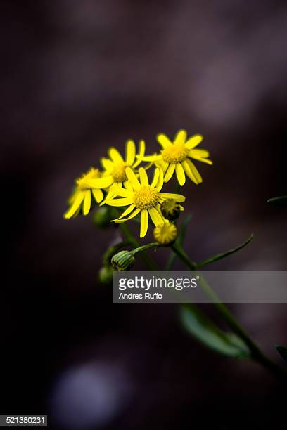 Closeup of three yellow flowers isolated