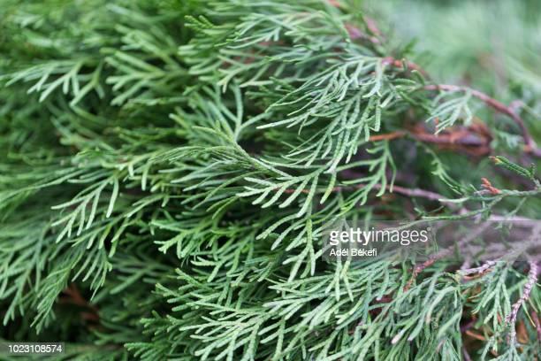 close-up of thuja tree - zeder stock-fotos und bilder