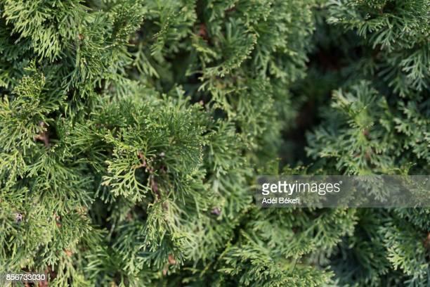 Close-Up Of thuja tree