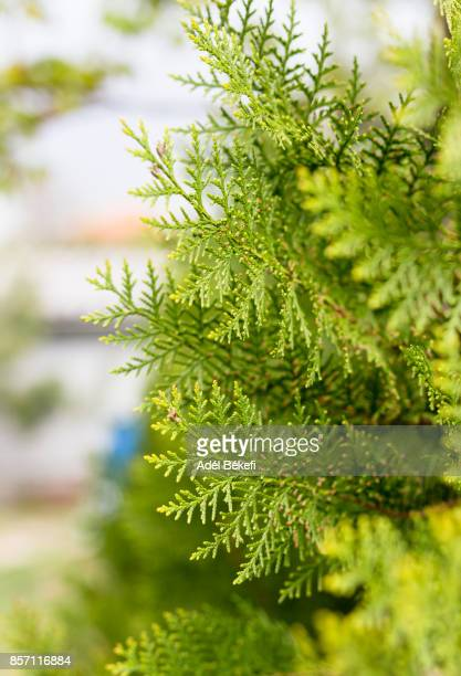 close-up of thuja tree - cedar tree stock photos and pictures