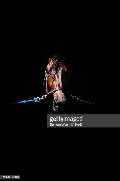 Close-Up Of Tied Up Brown Horse Against Black Background