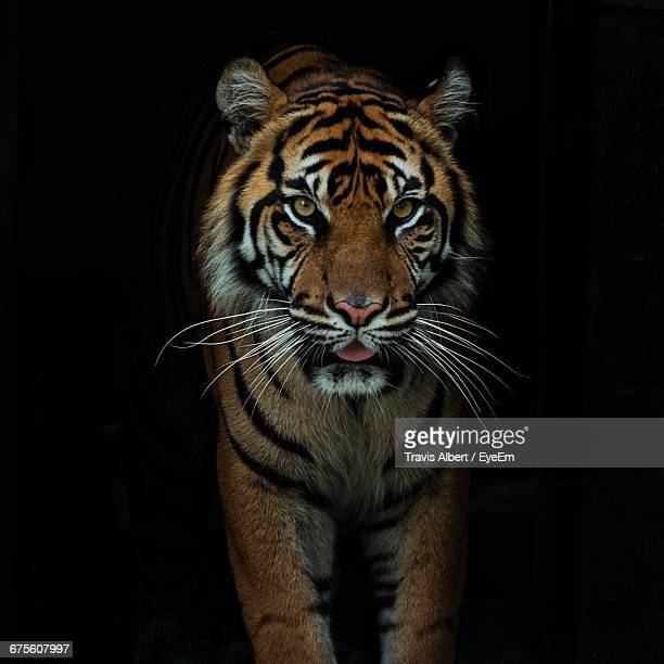 Close-Up Of Tiger Against Black Background