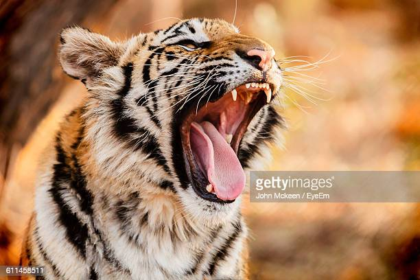 close-up of tiger cub yawing - tiger cub stock photos and pictures