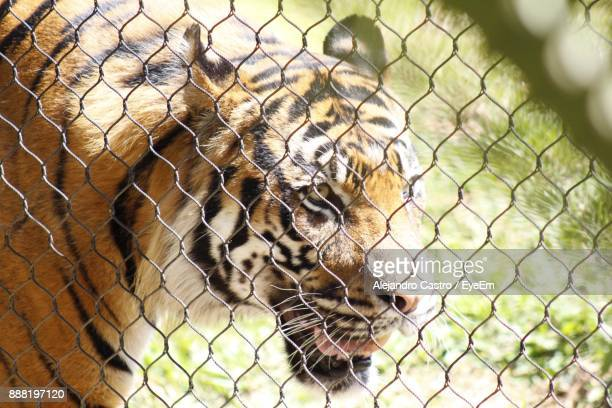 Close-Up Of Tiger In Cage