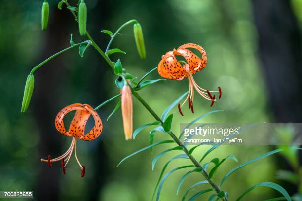 Close-Up Of Tiger Lily Flowers Growing On Plant