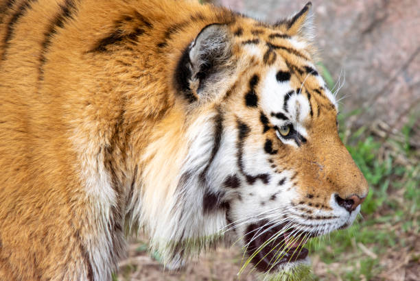 Close-up of tiger looking away,Sweden
