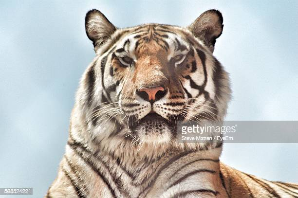 close-up of tiger - steve matten stock pictures, royalty-free photos & images
