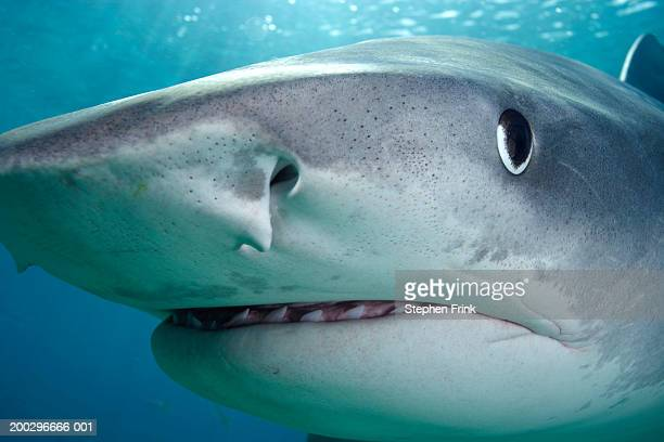 close-up of tiger shark (galeocerdo cuvier) - tiger shark stock pictures, royalty-free photos & images