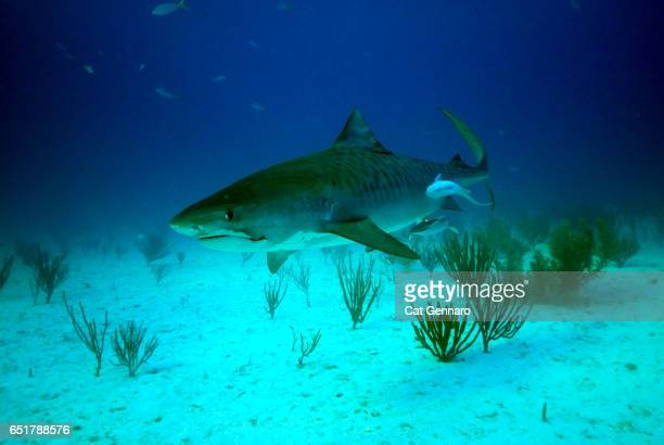 close-up of tiger shark with remora - megalodon stock photos and pictures
