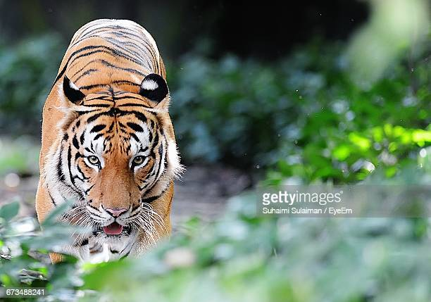Close-Up Of Tiger Walking In Forest