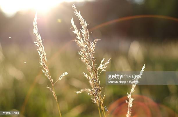 Close-Up Of Timothy Grass