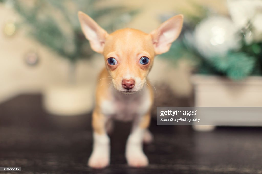 Closeup Of Tiny Chihuahua Puppy At Christmas High Res Stock Photo Getty Images