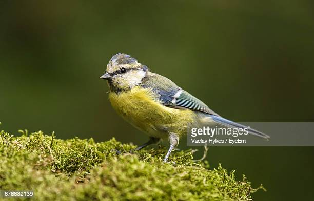 Close-Up Of Titmouse On Moss