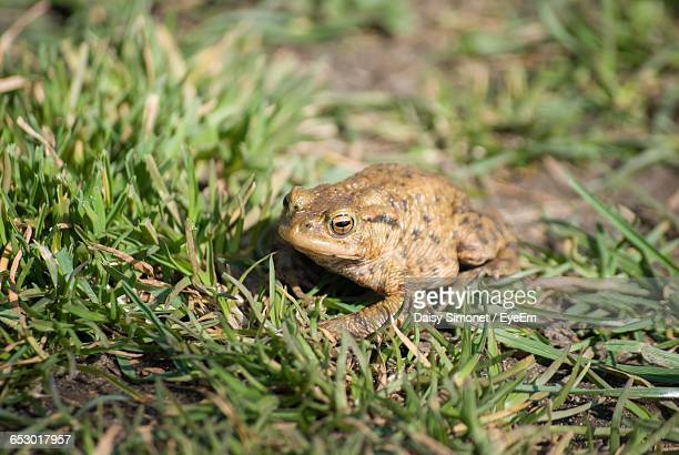 Close-Up Of Toad In Grassy Field