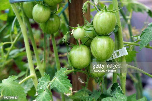 close-up of tomatoes growing on plant - alex olariu stock photos and pictures
