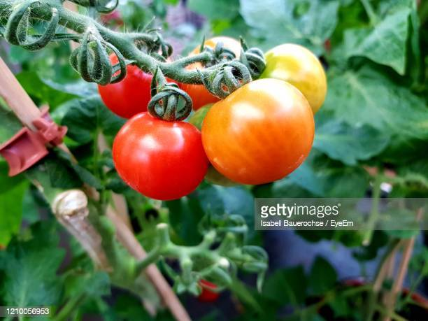 close-up of tomatoes growing on plant - 熟した ストックフォトと画像
