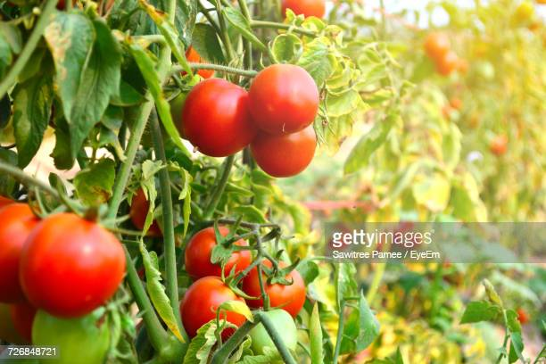 close-up of tomatoes growing on plants - vine plant stock photos and pictures