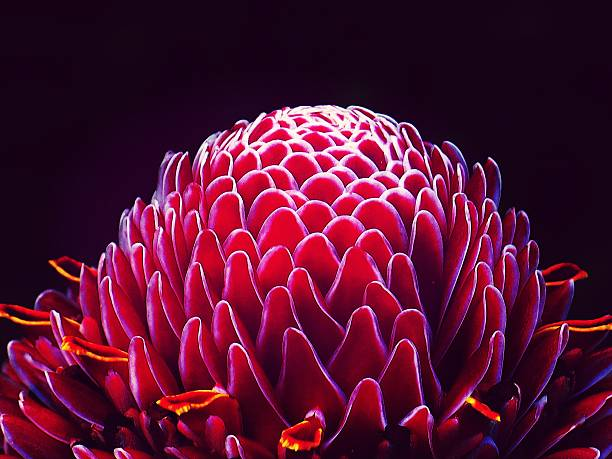 Close-Up Of Torch Ginger Flower Against Black Background Wall Art