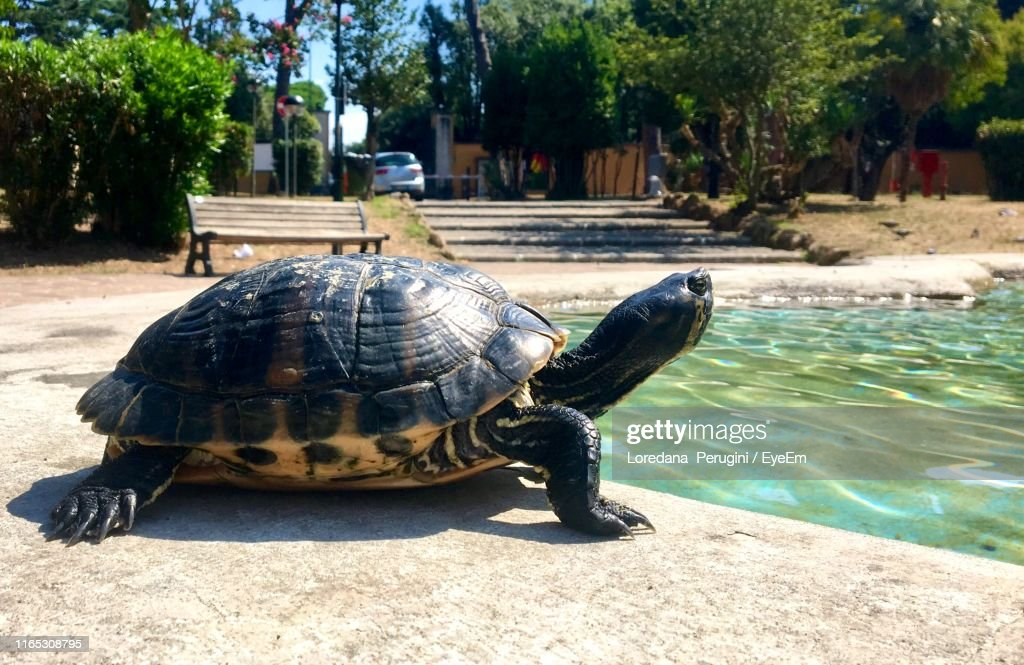 Close-Up Of Tortoise By Pond During Sunny Day : Foto stock