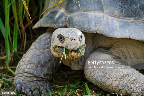 close-up of tortoise eating grass - colman stock photos and pictures