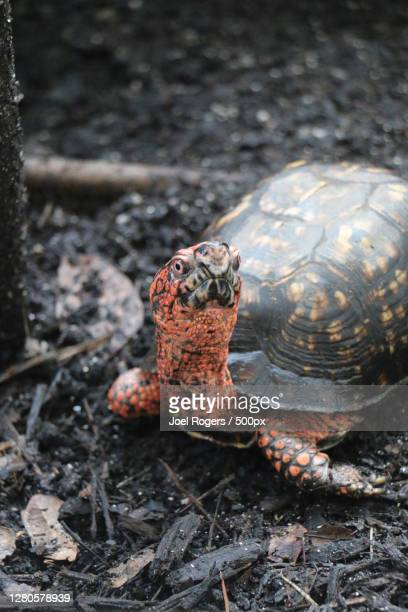 close-up of tortoise on field - joel rogers stock pictures, royalty-free photos & images