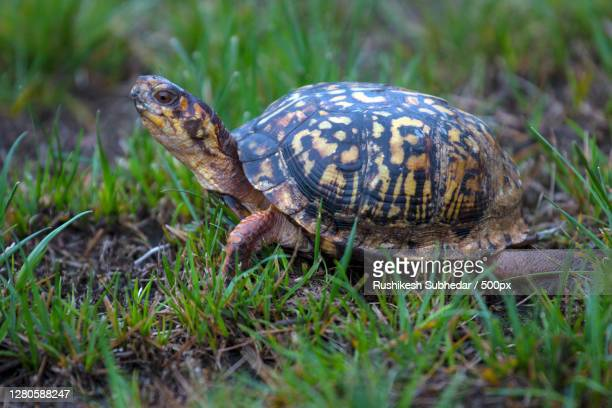close-up of tortoise on field - box turtle stock pictures, royalty-free photos & images