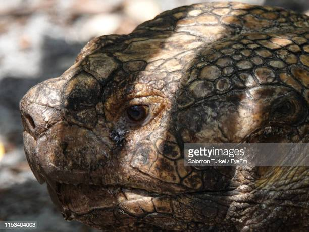 close-up of tortoise - solomon turkel stock pictures, royalty-free photos & images