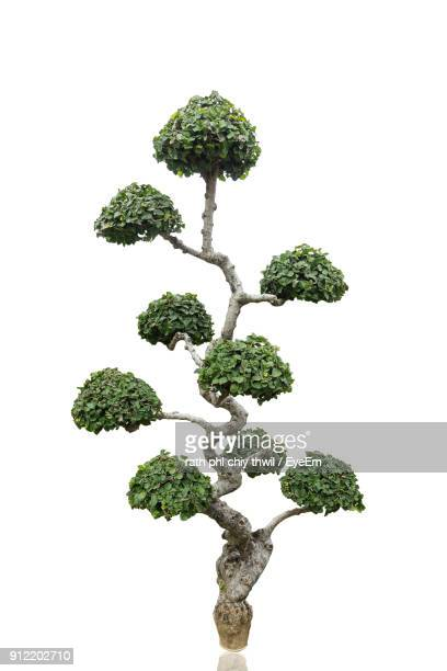 close-up of tree against white background - bonsai tree stock pictures, royalty-free photos & images