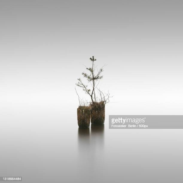 close-up of tree against white background,brandenburg,germany - baum stock pictures, royalty-free photos & images