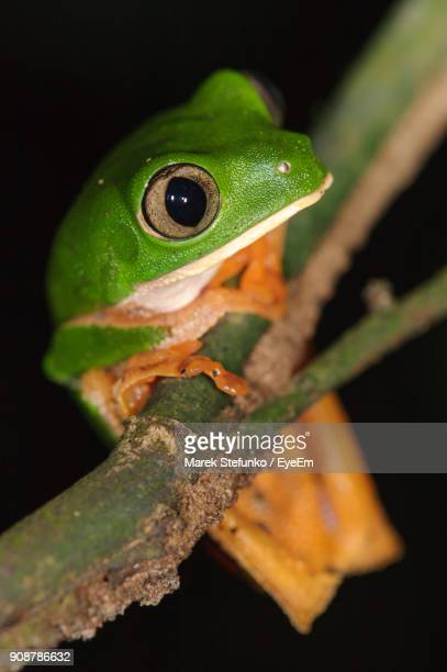 close-up of tree frog on branch - marek stefunko imagens e fotografias de stock