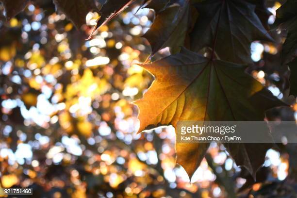 Close-Up Of Tree Leaves During Autumn