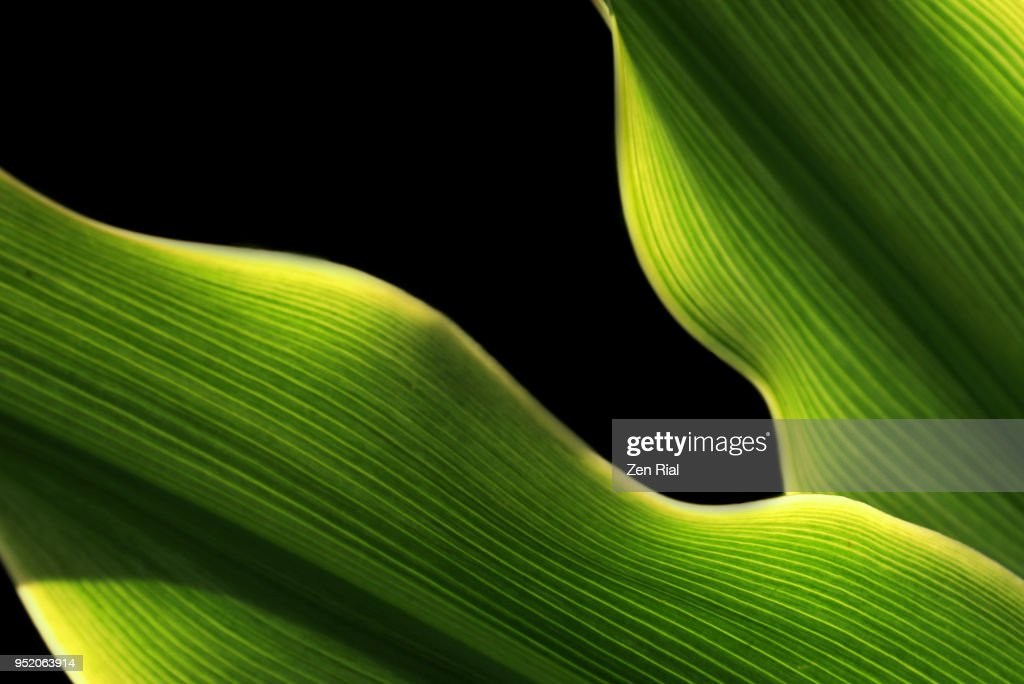 Closeup Of Tropical Leaves On Black Background High Res Stock Photo Getty Images Palm leaf clipart black and white. https www gettyimages com detail photo close up of tropical leaves on black background royalty free image 952063914