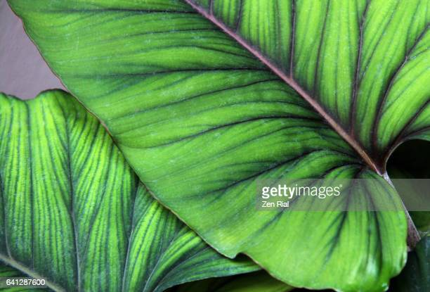 Close-up of tropical leaves with rich green colors showing leaf veins and patterns