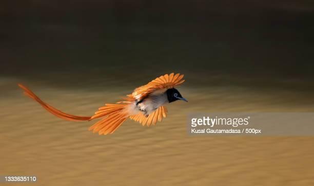 close-up of tropical songbabbler flying over lake,yala national park,sri lanka - sri lanka stock pictures, royalty-free photos & images