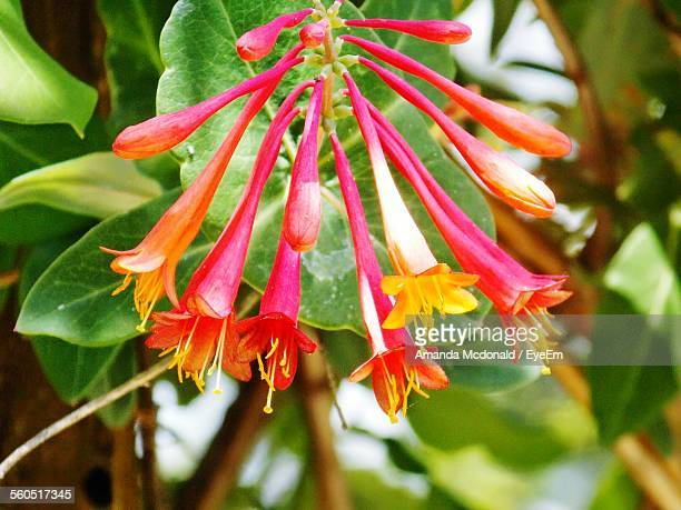close-up of trumpet honeysuckles blooming in garden - honeysuckle stock pictures, royalty-free photos & images