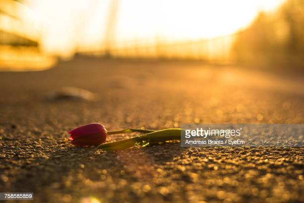 close-up of tulip on road - broken heart stock pictures, royalty-free photos & images