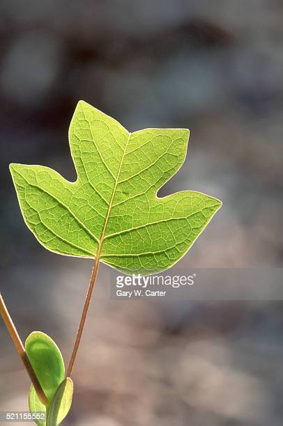 closeup of tulip poplar leaf in spring - tulip tree stock photos and pictures