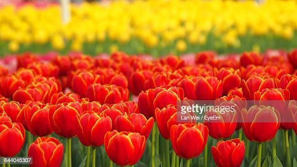 Close-Up Of Tulips Blooming In Field