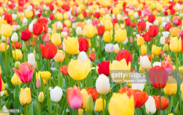 close-up of tulips blooming in field - チューリップ ストックフォトと画像