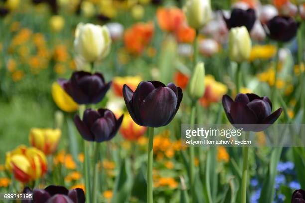 Tulip Seeds Stock Pictures Royalty Free Photos Images Getty