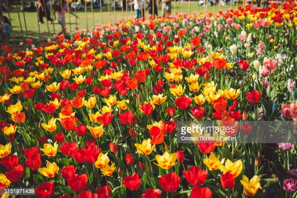 close-up of tulips growing in park - bortes stock-fotos und bilder